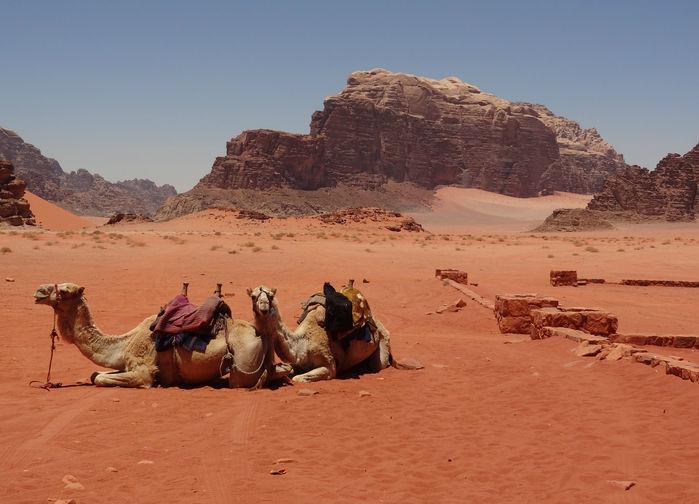 kameler i wadi rum