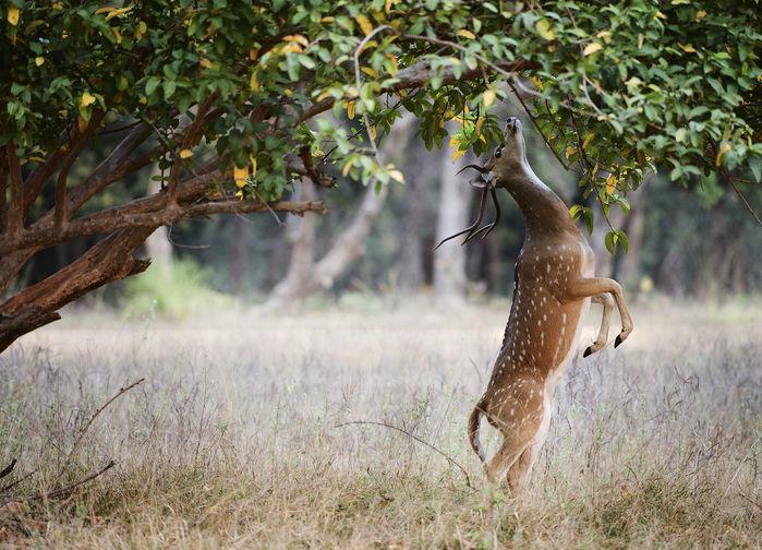 hjort på bakben i ranthambore