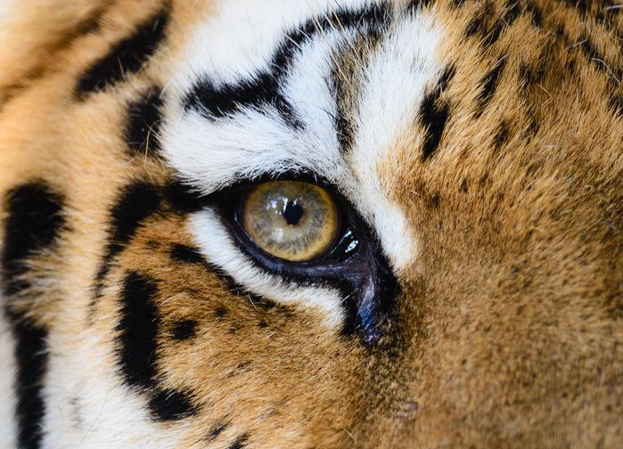 bengalisk tiger närbild