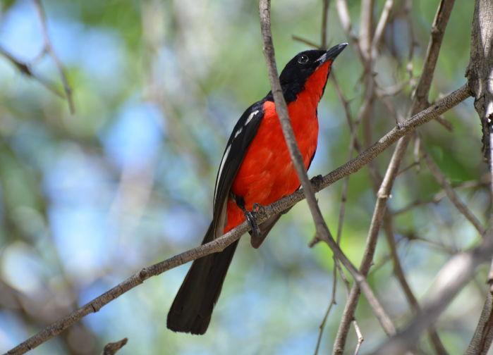 Rödbröstad busktörnskata Crimson-breasted shrike
